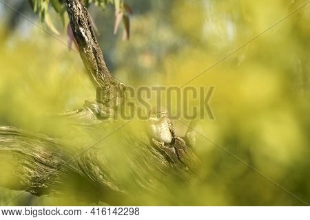 Spotted Owl Or Owlet Or Athene Brama Perched On Tree In Natural Green Foreground In Morning Light At