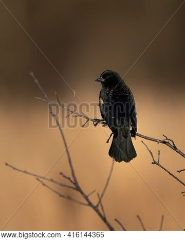 Red Winged Black Bird At Hatchie National Wildlife Refuge In Tennessee