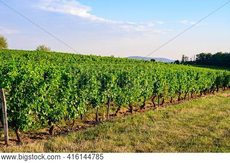 Green Vineyards Located On Hills Of  Jura French Region Ready To Harvest And Making Red, White And S