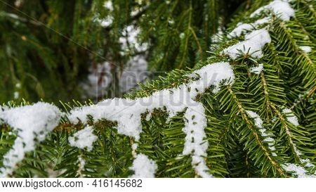 Snow Covered Twig Of A Serbian Spruce Tree