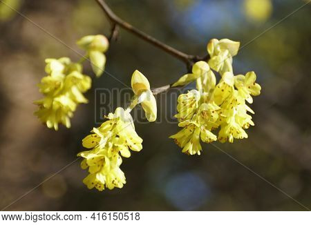 Close Up Of The Yellow Flowers Of Hybrid Witch-hazels Tree, With Scientific Name Hamamelis Intermedi