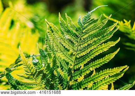 Beautiful Ferns Leaves Green Foliage Natural Floral Fern Background In Sunlight. Close Up Ferns Leaf