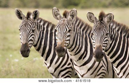 Zebra In Mara