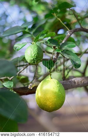 Branch Of A Lemon Tree With One Big Ripening Lemon And One Green Lemon. Lemon Variety