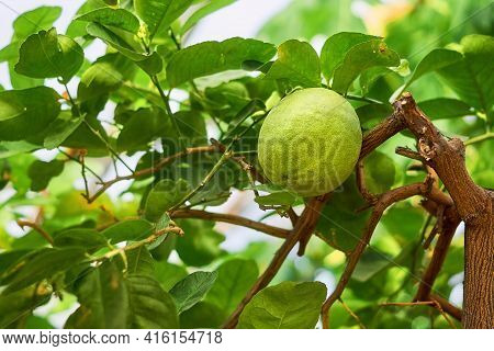 Branches Of A Lemon Tree With Dark Green Leaves And Big Ripening Lemon. Lemon Variety