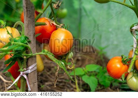 Organic Bio Tomatoes Ripen In The Greenhouse.