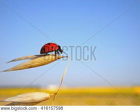 Ladybug Prepares To Flight, Yellow Field, Clear Sky
