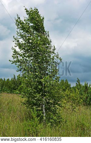 Lonely Birch By A Bright Summer Day.