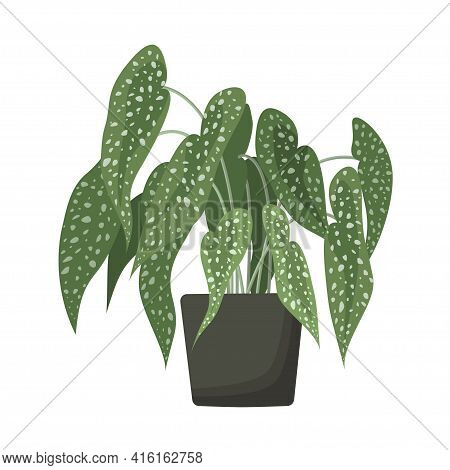 Potted Begonia Maculata With Exotic Leaves. Spotted Polka Dot Begonia Home Plant In Ceramic Pot. Tro