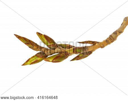Branch Of Poplar With Buds In Early Spring Isolated On White