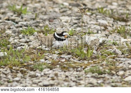 Well Camouflaged Bird, Common Ringed Plover (charadrius Hiaticula), Incubating Its Eggs In The Nest