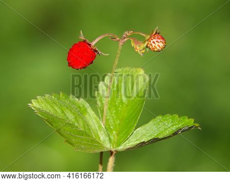 Wild Strawberry With Ripe Red Fruit, Fragaria Vesca