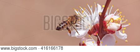 Bee On Blooming Apricot In Early Spring, Panoramic View
