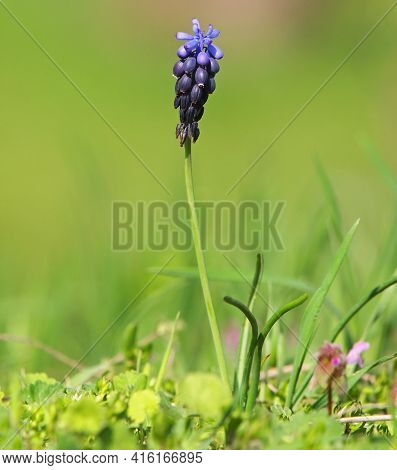 Spring Blue Flower Of Grape Hyacinth, Muscari Neglectum