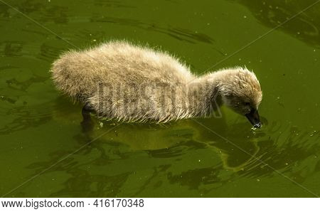 Strayed From The Family In The Pond Floats A Fluffy Gray Duckling From A Black Swan