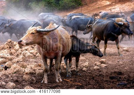 Group Of Water Buffalo (thai Buffalo) At Countryside In Southern Of Thailand.