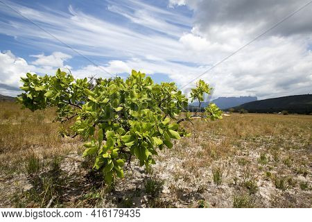 Green Bush In Canaima National Park With Cloudy Blue Sky. Venezuela 2015