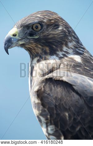 Closeup Of Galapagos Hawk (buteo Galapagoensis). Vulnerable And Endemic Specie Living In The Galapag
