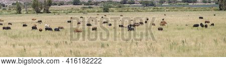 Panorama Of Herd Of Cows Grazing In The Green Pasturages Near Cafayate Along The Famous Ruta 40 (rou