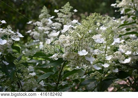 Summer August Morning. White Buds, White Flowers, White Inflorescences. The Hydrangea Paniculata Of