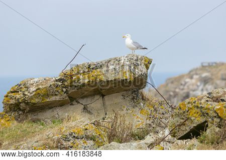 Watchful Seagull Looking Ahead And Resting On An Old German Bunker On Cezembre Island, Bretagne, Fra