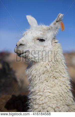 Llama (lama Glama) Early In The Morning At High Altitude With Blue Clear Sky In Bolivia.