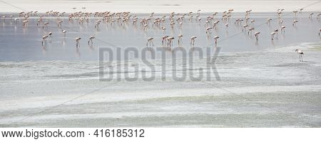 Group Of Pink Flamingos Standing On A Lake Close To The Eduardo Avaroa National Park In Bolivia