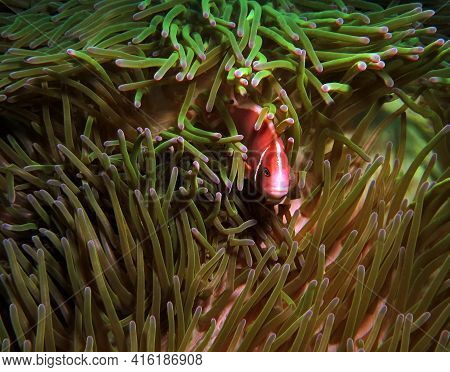 A Pink Anemonefish In A Green Anemone Boracay Philippines
