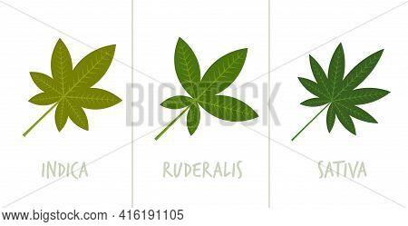 Set Sativa Indica Ruderalis Marijuana Leaves Drug Consumption Concept Horizontal Flat