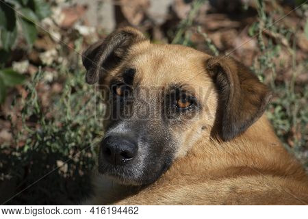 Portrait Of A Brown Dog With A Black Snout. Sunny Autumn Day. Front View.