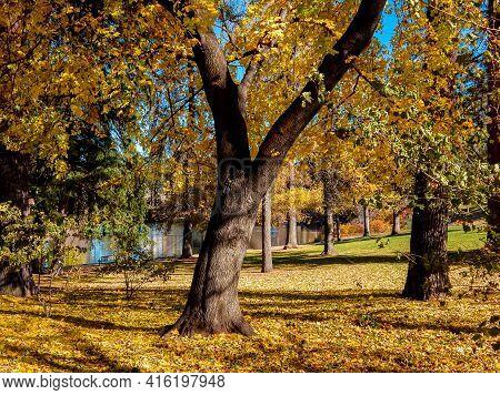 Golden Drake - An October Scene Among The Maples At Drake Park Along The Deschutes River - Bend, Or
