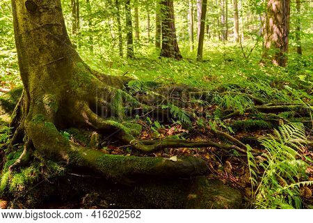 Creek With Roots Of Tree In A Forest. Landscape With Shallow Mountain Creek In Forest, Wet Stones In