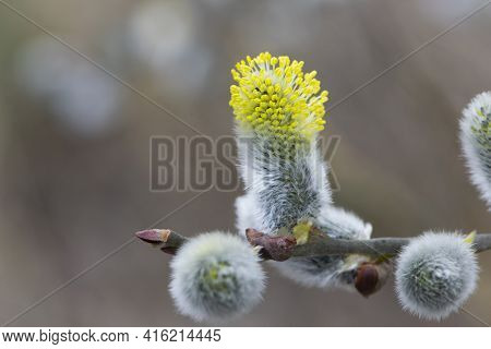 Willow Branch With Yellow Spring Flowers. Delicate Willow Flowers In Spring. Fur Seals Symbol Of Spr