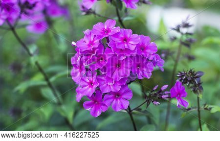 Garden Phlox Phlox Paniculata , Flowers Of Summer