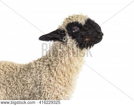Portrait, profile of a lovely Lamb Valais Black nose sheep three weeks old, isolated