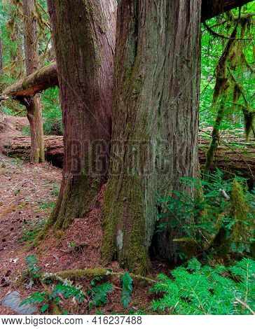 Double Cedar - An Unusual Western Red Cedar Scene In The Forest Along The Mckenzie River - North Of