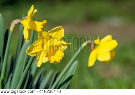 Yellow Narcissus - Daffodil On A Green Background. Narcissus, Flower, Pattern End Natural.