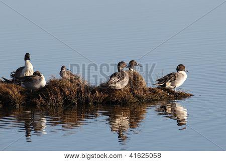 Northern Pin-tail Ducks
