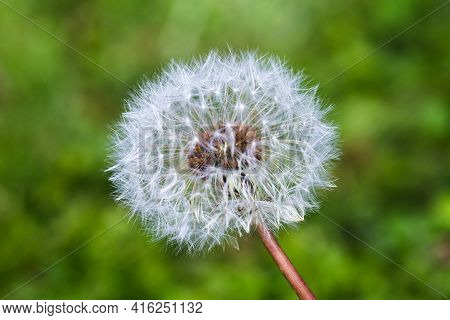 Close-up White Blowball Dandelion On A Green Meadow Background. Make A Wish Concept Or Summer Concep