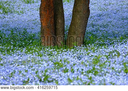 Hitachi Seaside Park.trunk Of The Tree In Popular Miharashi Area ,famous Blue Nemophila Flowers In S