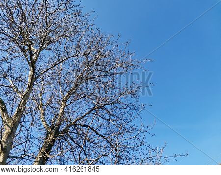 Spring Tall Tree Without Leaves. Tall Walnut Tree In Early Spring, Still Without Leaves And In The W