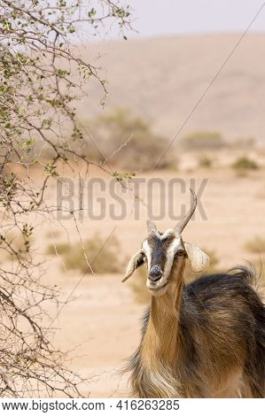 Portrait Of Moroccan Goat Standing And Looking At The Camera In Morocco.