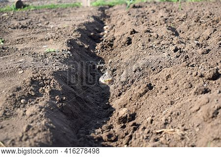 Planting Potatoes Into Grooves In The Garden.