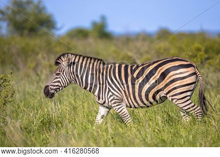 Common Zebra (equus Quagga) Walking In Green Savanna In Kruger National Park South Africa