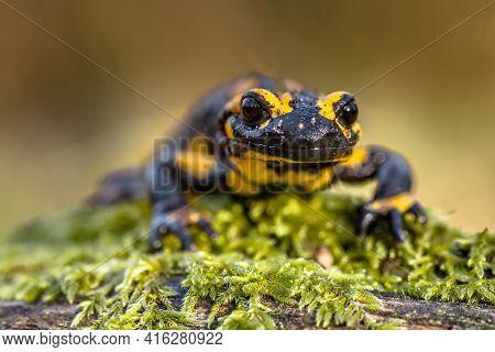 Head Shot Threatened Fire Salamander Newt (salamandre Salamandre) Which Lives In Central European De
