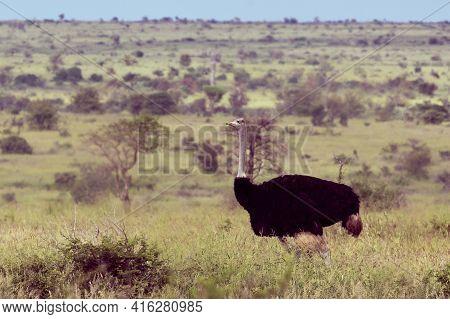 South African Ostrich (struthio Camelus Australis) Male On Green Savanna In Satara Bushveld Savanna