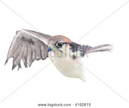 Hawk With Open Wings