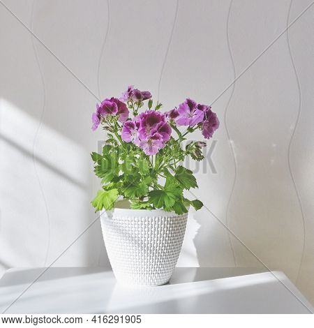 Blooming Houseplant Pelargonium Regal In A White Pot Stands On A Coffee Table Near The Light Wall At