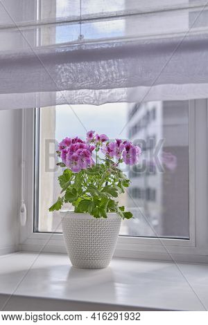 Blooming Houseplant Pelargonium Regal In A White Pot Stands On A Window Sill On The Background Of A