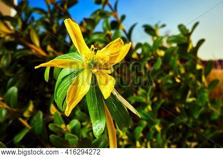 Close-up Of Yellow Blooming  Winter Aconite Flower In Spring Meadow In Poland